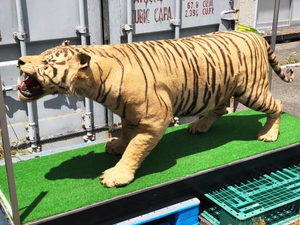 虎 剥製 全長228cm 雄 国際希少野生動植物種登録票有り 台付買取致しました。